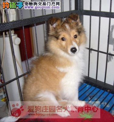 专业犬舍出售喜乐蒂幼犬,保证健康纯种
