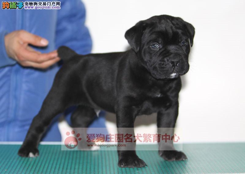 赛级卡斯罗幼犬出售中,保证健康纯种