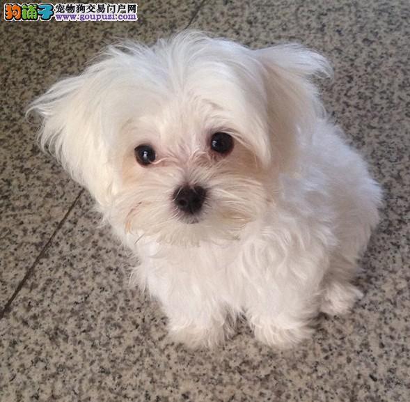 长春市出售马尔济斯犬 公母都有 多窝可选 签售后协议