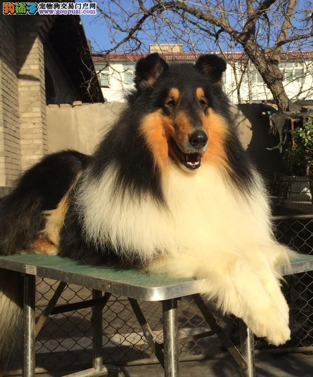 济南出售萌宠 小型梗类犬 苏格兰梗幼犬 黑色和麦色全