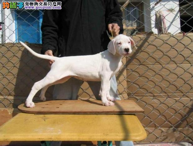 东莞出售杜高犬打猎一把手凶猛猎犬保纯保健康终身售后