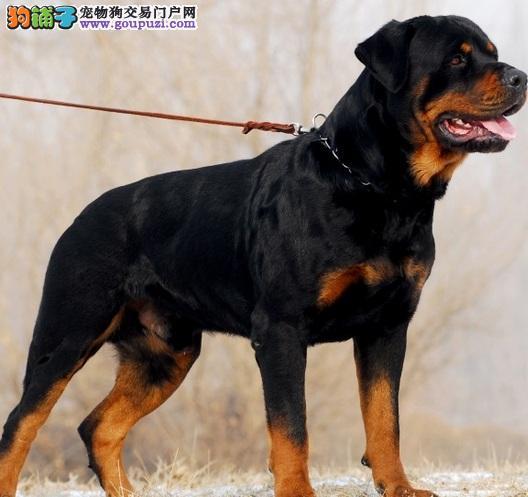 德系大头罗威纳犬,极品幼犬待售/专业罗威纳