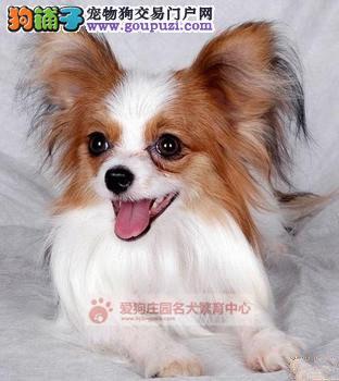 精品蝴蝶幼犬出售中,保证健康纯种