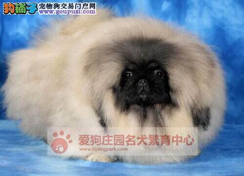 精品京巴幼犬出售,保证健康纯种