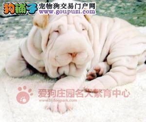 精品沙皮幼犬出售中,保证健康纯种