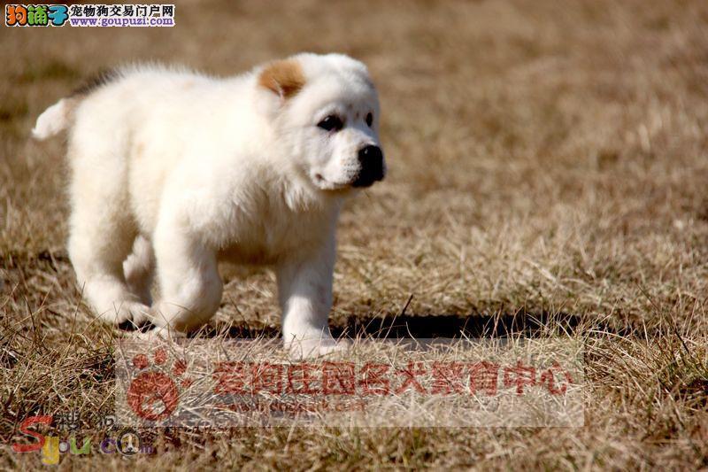 保证健康纯种,欢迎前来选购中亚牧羊幼犬