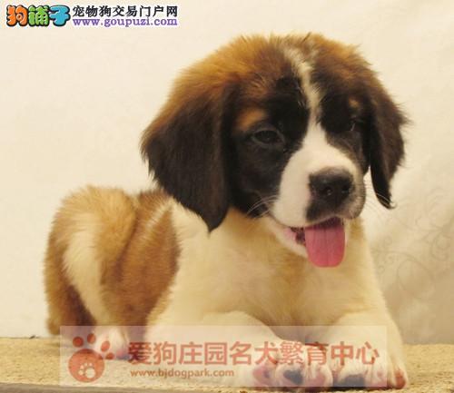 精品圣伯纳幼犬出售,保证健康纯种