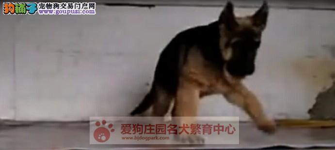 精品狼狗幼犬出售,保证健康纯种