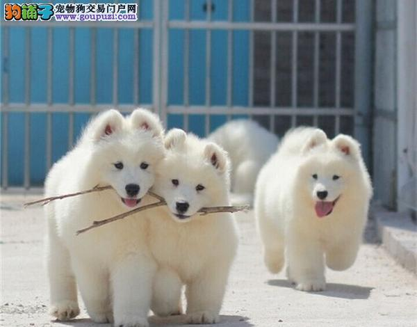 出售优秀微笑天使广州萨摩耶 有问题包退包换品质高图片