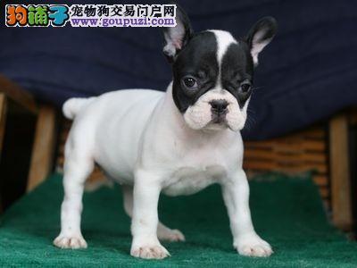 上海出售纯种法国斗牛犬 纯正血统 上门挑选 公母均有