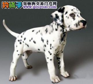 101斑点狗 深圳哪里买纯种斑点狗 斑点狗多少钱