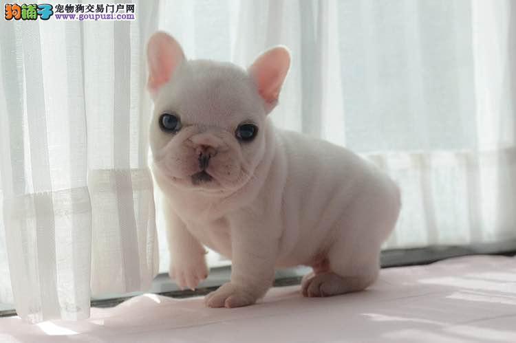郑州售纯种法国斗牛犬疫苗齐全 健康法牛幼犬