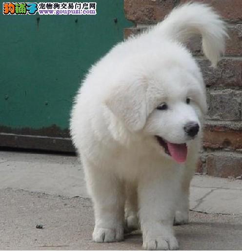 郑州养殖场直销大白熊犬幼犬 多只可挑选包健康送用品