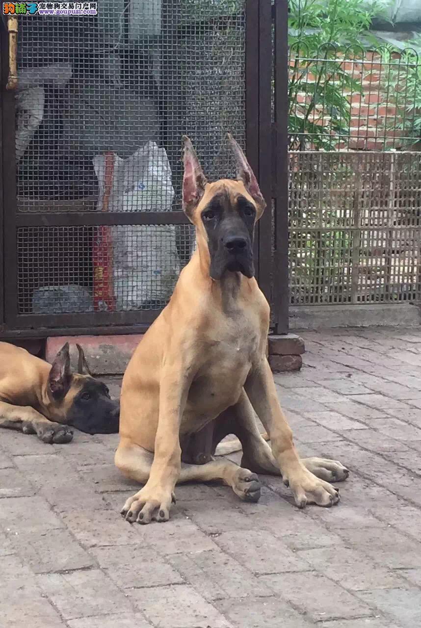 呼和浩特大丹犬价格 专业出售大丹犬 专业繁殖基地出售