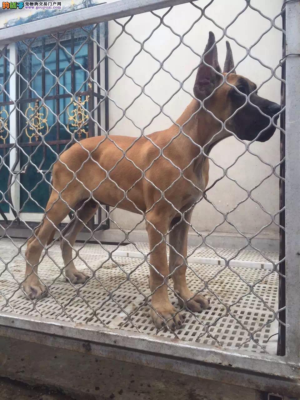 厦门出售颜色齐全身体健康大丹犬微信选狗直接视频图片
