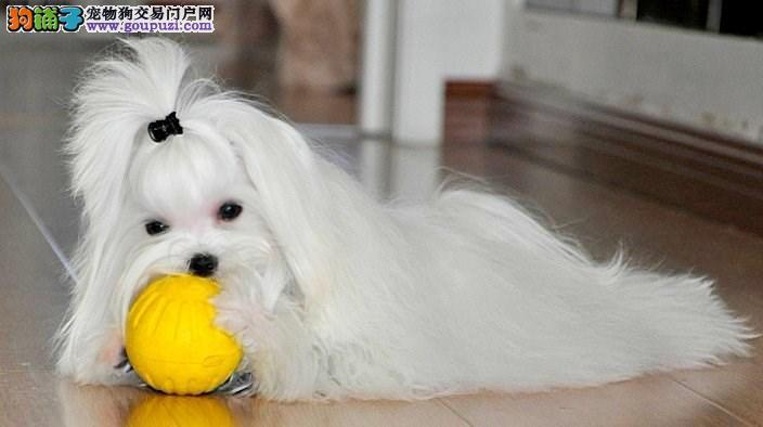 深圳哪里有狗场繁育出售精品马尔济斯犬