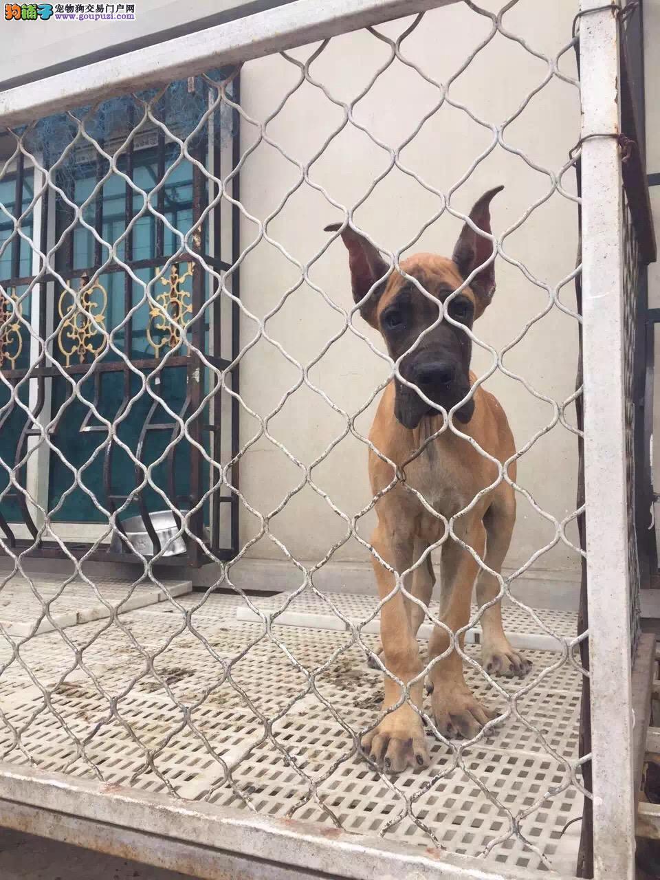 出售多种颜色西安纯种大丹犬幼犬包售后包退换