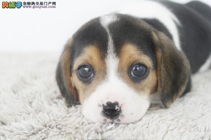 大型繁殖基地出售比格伴侣犬质保三年芯片证书齐全