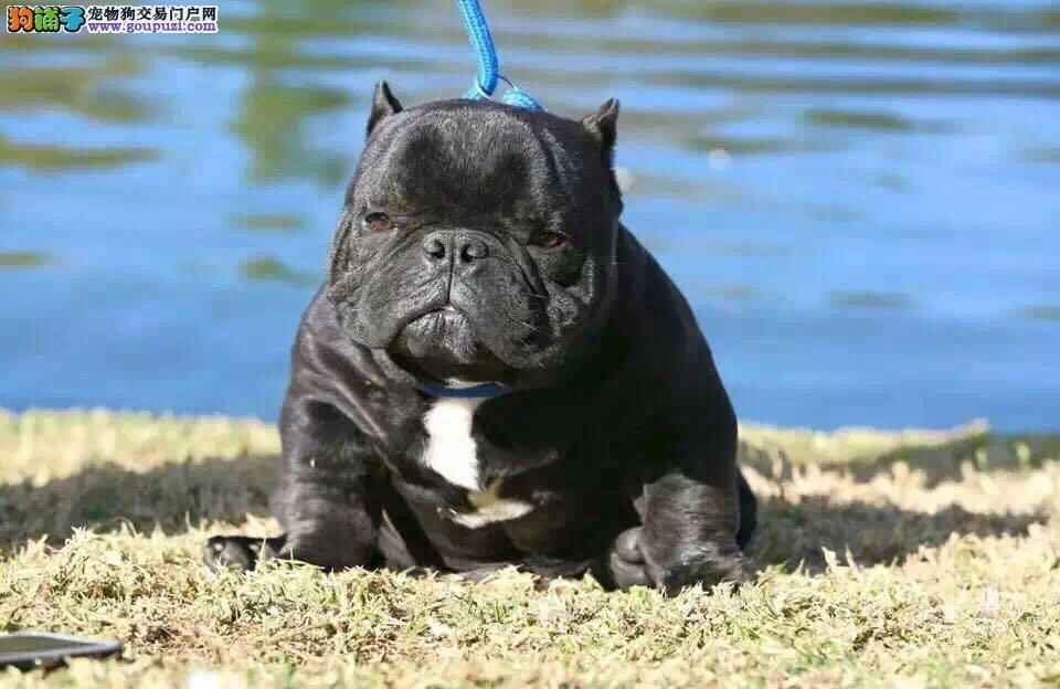 呼和浩特出售美国恶霸犬 可视频看狗 疫苗齐全 签协议