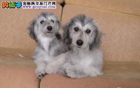 石家庄出售阿富汗猎犬全国发货可上门挑选免费饲养指导