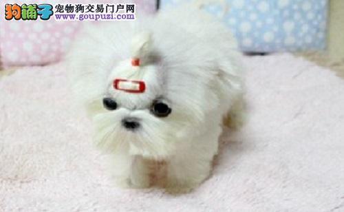 石家庄出售赛级马尔济斯犬幼犬 签订售后协议 健康质保