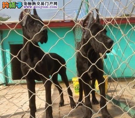 西双版纳专业繁殖基地出售大丹犬颜色齐全可看父母欢迎挑选