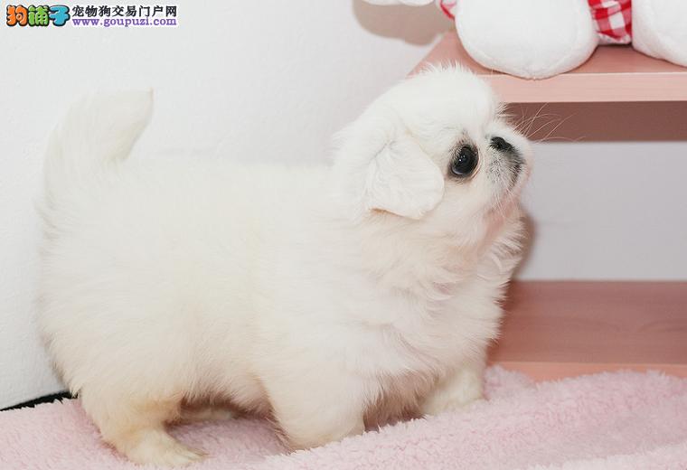 太原出售纯种京巴狗 体型漂亮尾巴丰满