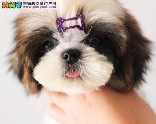 出售西施犬专业缔造完美品质质量三包多窝可选