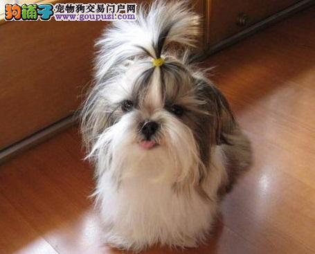 贵阳专业的西施犬犬舍终身保健康带血统证书签活体协议