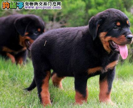 罗威纳幼犬纯种健康保证品质CKU认证