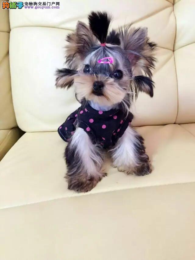 温州精品约克夏幼犬出售 纯种约克夏犬价格可少可优惠