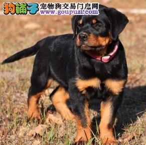 武汉精品罗威纳犬保纯保健康疫苗驱虫已做完可签协议