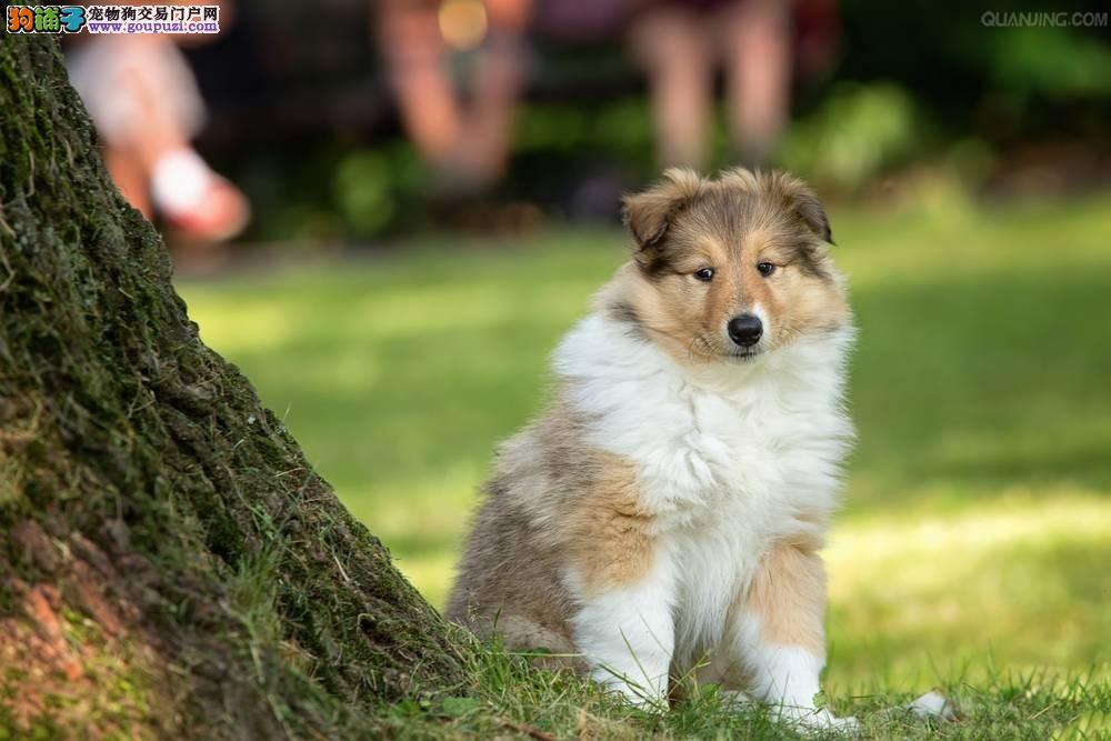 纯种苏牧幼犬待售 保障纯种健康品质 可到场挑选