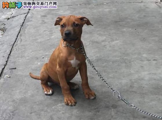 出售纯种比特犬幼犬 公母都有 多只可选 可上门选购