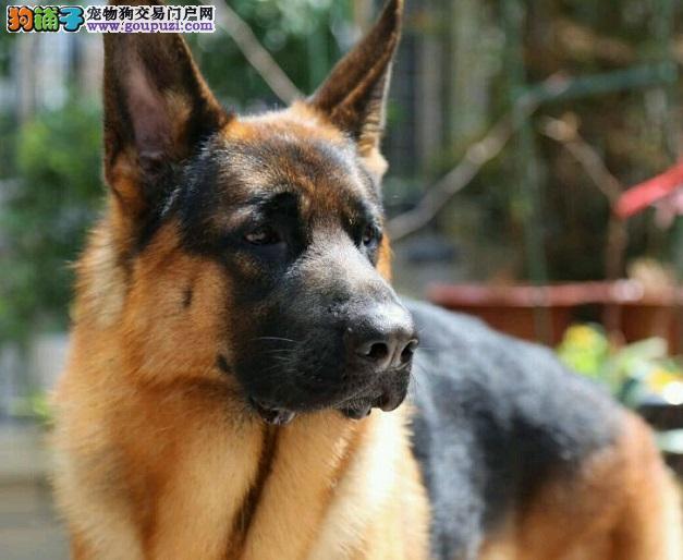 纯种昆明犬直销、低价热销保健康、可签保障协议