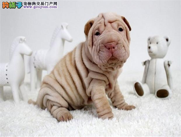 南宁出售赛级纯种沙皮狗幼犬健康品质终身质保全国空运