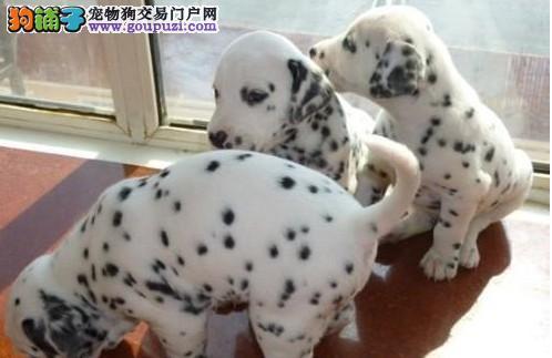 品质好斑点狗幼犬 合肥家养纯种健康赛级大麦町犬出售