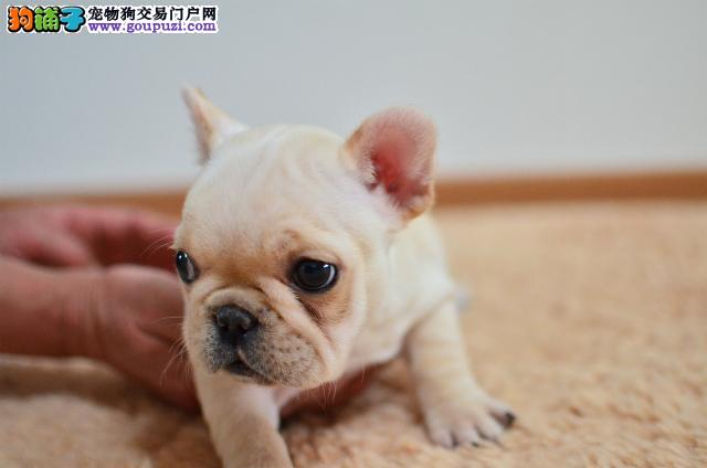 南京繁育高品质法国斗牛犬 欢迎上门看法斗健康有保障
