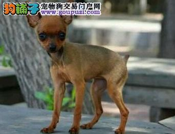 出售小鹿犬 健康聪明粘人 寻找爱狗人士 可上门挑选