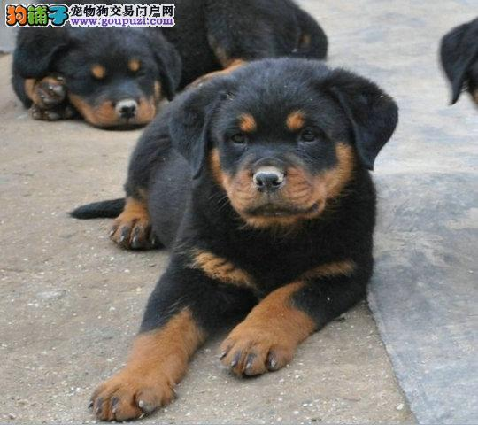 福州出售纯血统精品罗威那幼犬多窝出售签保障协议