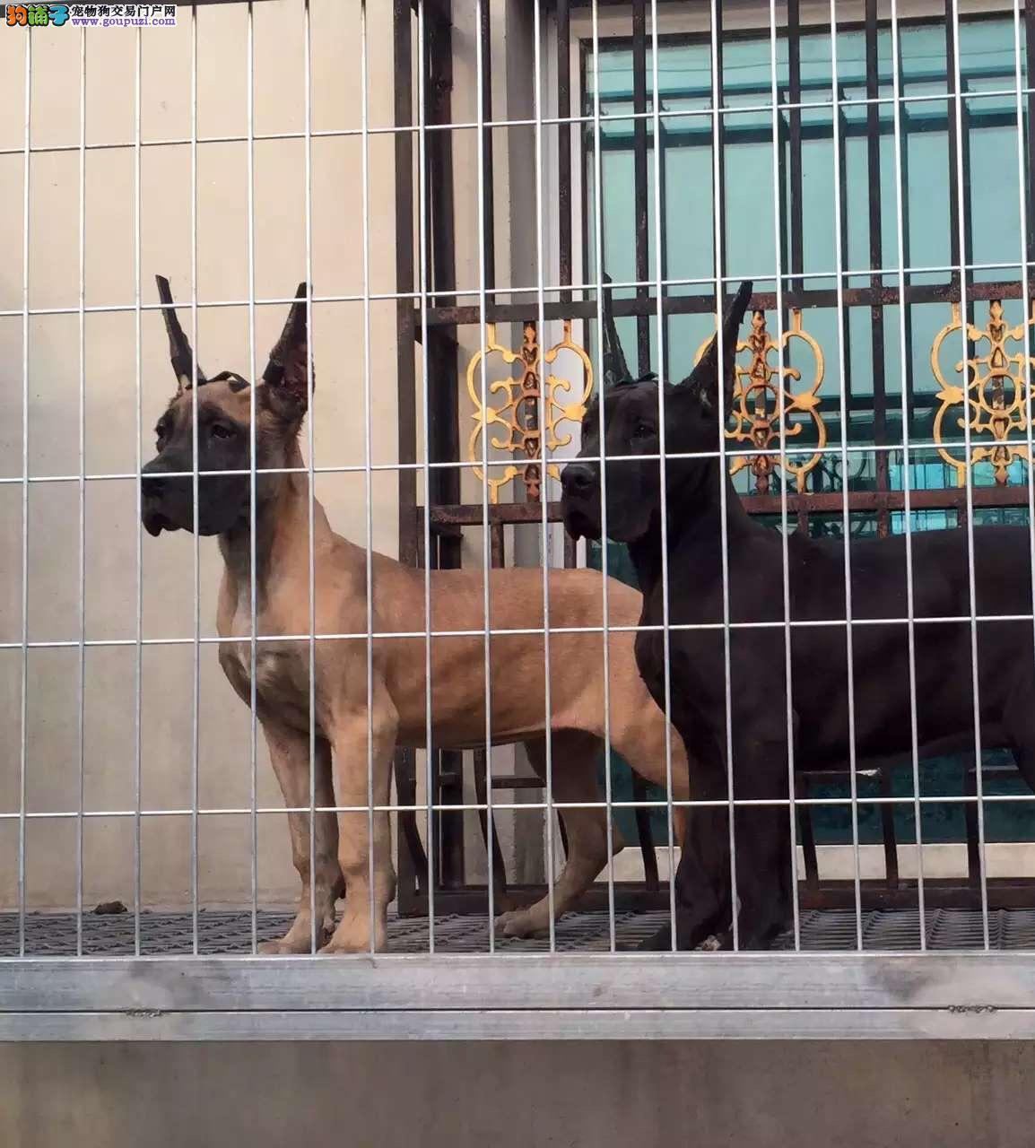 精品大丹犬幼犬一对一视频服务买着放心质保三年支持送货上门