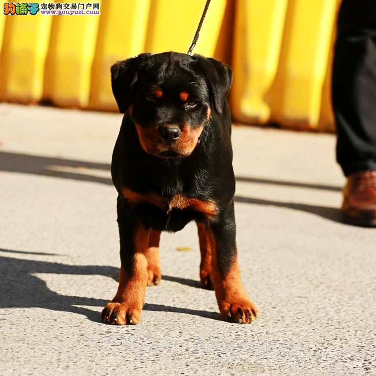 实物拍摄 福州精品罗威纳幼犬三年包换签订协议