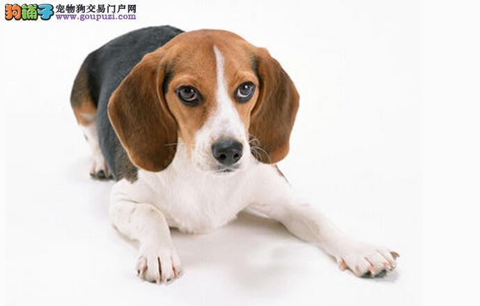 品质健康有保障郑州比格犬热卖中同城免费送货上门