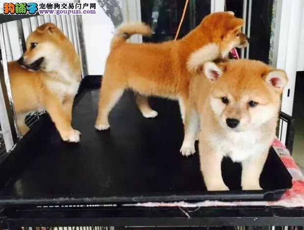 深圳售健康日本柴犬幼犬疫苗驱虫全可视频看够可包邮