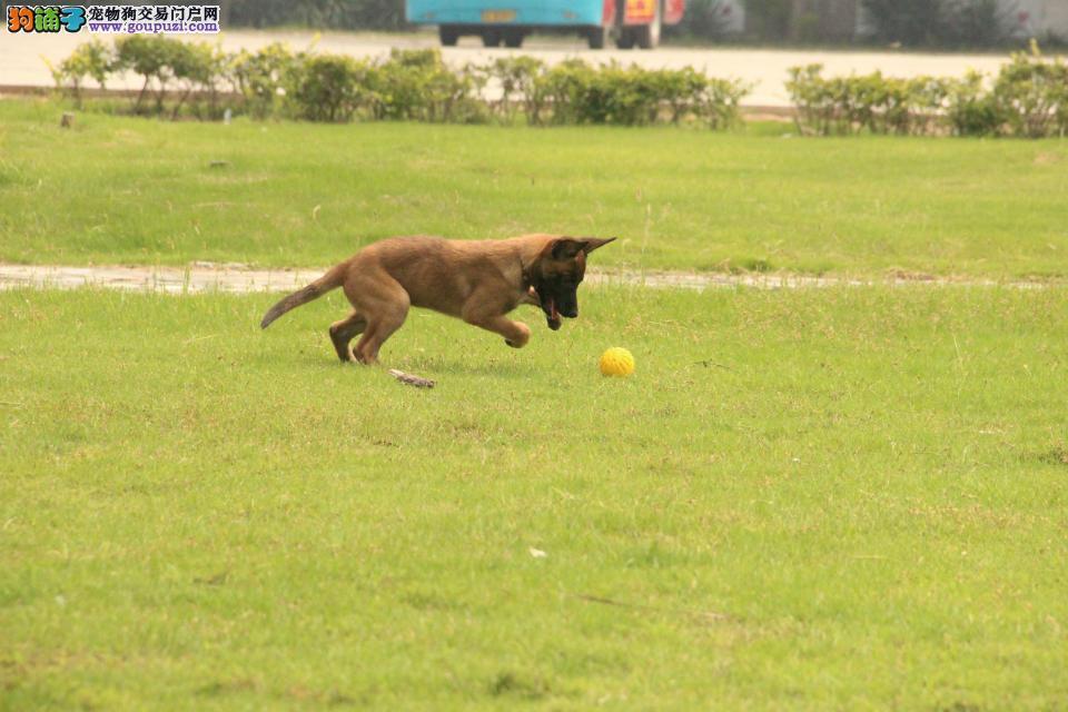 贵阳买纯种马犬可上门来看实体犬舍专业繁殖协议保障