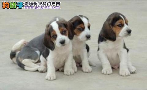 济南比格犬 米格鲁猎兔犬幼犬出售 签合同包健康纯种