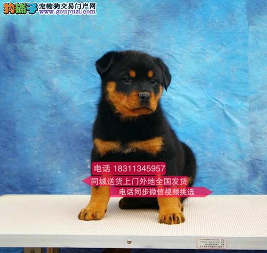 罗威那犬舍直销纯种罗威纳 罗威纳幼犬