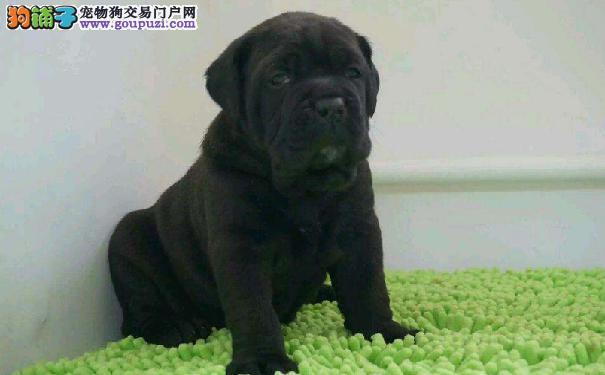遵义高级护卫犬卡斯罗 保纯种保健康 正规犬舍出售