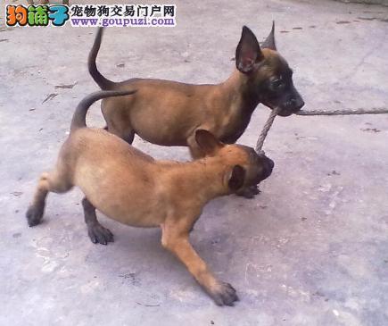 纯种健康高品质比利时马犬出售 易训练 最时尚的警犬