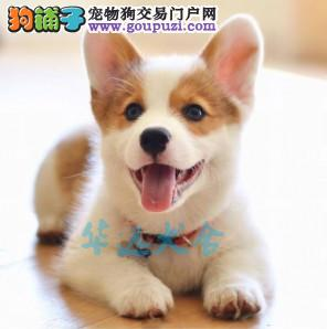 国内最具规模的柯基犬犬舍 保纯种健康 两色三色均有